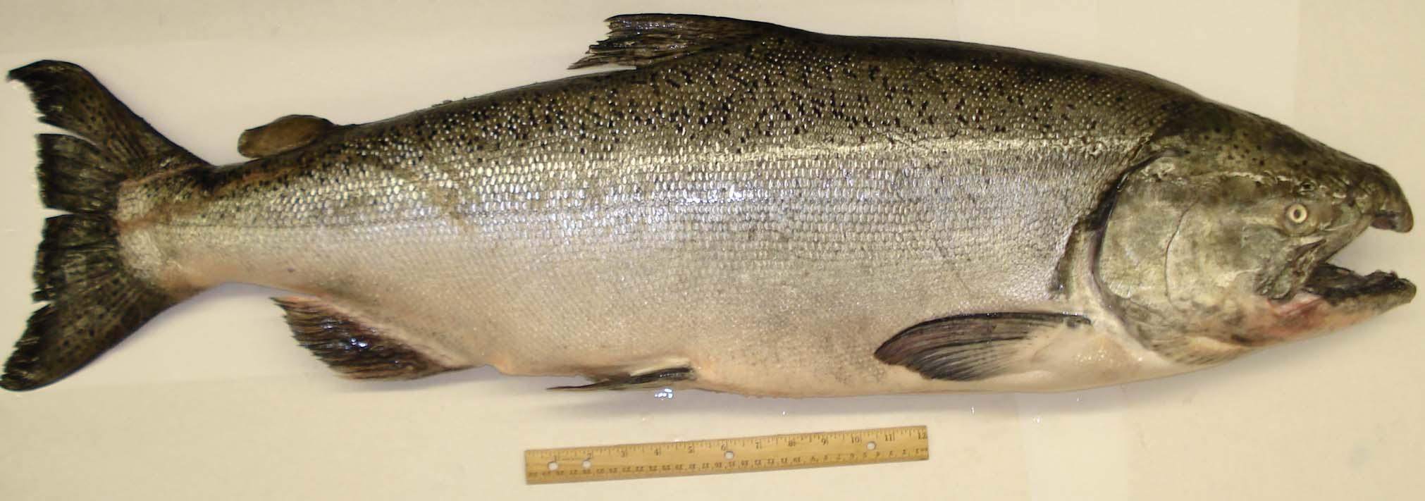 King salmon wild